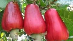 Чим корисні горіхи кеш`ю? Протипоказання і дієти