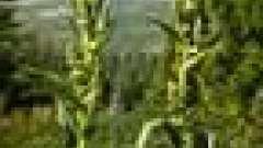 Чемериця лобелія