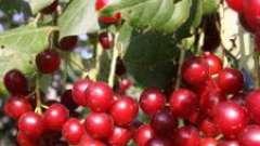 Черемуха червона: корисні властивості, рецепти