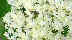 Цвіт бузини: корисні властивості, правила застосування