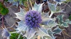 Домашній лікар і надійний оберіг - рослина синьоголовник!
