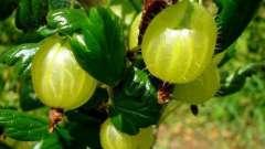 Ягоди агрусу - це вітаміни! Вони позбавлять від хвороб і виведуть токсини!