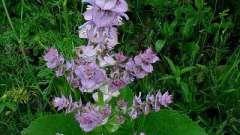 Як правильно використовувати шавлія мускатний: лікувальні властивості рослини і його протипоказання
