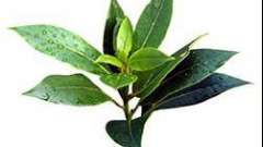 Як застосовувати ефірну олію чайного дерева від прищів?