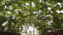 Як вирощувати огірки в парнику