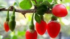 Як виростити ягоди годжі: екзотичний сад