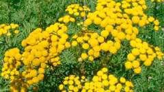 Трава пижмо: лікувальні властивості, показання до застосування, рецепти