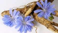 Корінь цикорію: лікувальні властивості. Як вживати цикорій?