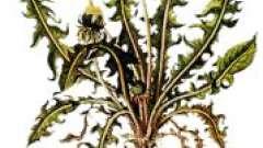 Коріння кульбаби: корисні властивості, застосування