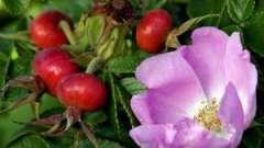 Лікувальні властивості шипшини: свіжі і висушені плоди шипшини