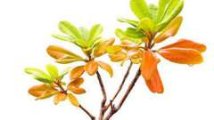 Масло чайного дерева для лікування нежиті
