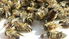 Мертві бджоли для серця корисні, при цьому вони абсолютно нешкідливі!