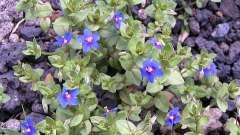 Очний цвіт польовий