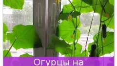 Огірки на підвіконні