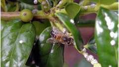 Падевий мед приємний на смак, і настільки ж корисний, як соковитий кавун!