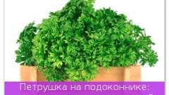 Петрушка на підвіконні: вирощуємо і їмо цілий рік