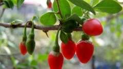 Підтримай імунітет: купити ягоди годжі в новосибірську