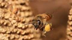 Корисні властивості бджолиного пилку, знають лікарі - вони молодці!