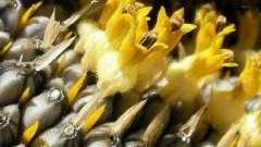 Користь і шкода насіння соняшнику