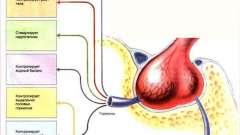 Робота гіпофіза і його гормонів