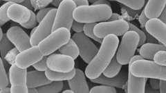 Роль біфідобактерій для кишечника в організмі