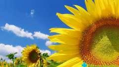 Насіння соняшнику: в чому користь?