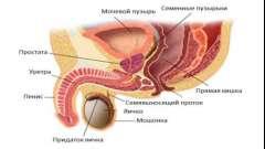Будова і особливості функціонування передміхурової залози