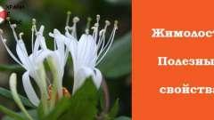 Жимолость - корисні властивості рослини з романтичною історією