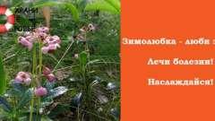 Зимолюбка: лікувальні властивості і застосування гіркої трави